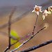 Small photo of Wintersweet