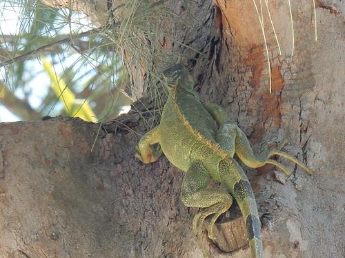 Isla Aguada - kontje van iguana