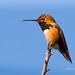 The Allen's are here!  Allen's hummingbird (Selasphorus sasin) by Nancy Asquith