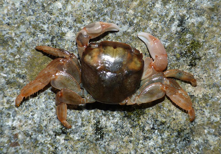 columbus crab Portinfer 11Feb16