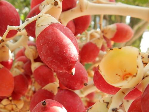 Chelem - palmvruchten