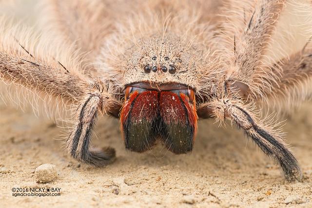 Huntsman spider (Heteropoda sp.) - DSC_7865