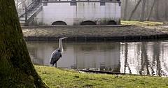 Heron at Vondelpark