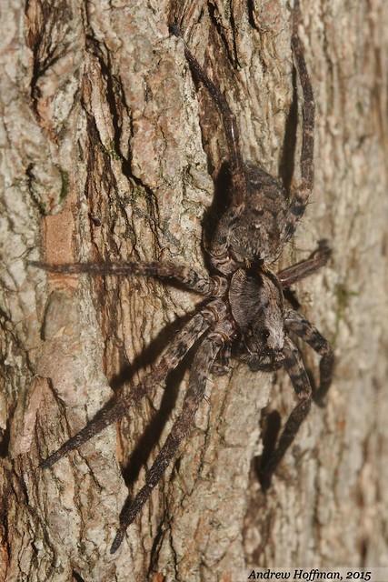 Gladicosa pulchra (Wolf Spider)