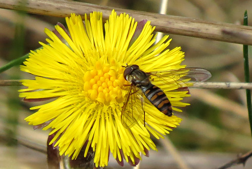 Episyrphus balteatus Tophill Low NR, East Yorkshire April 2016