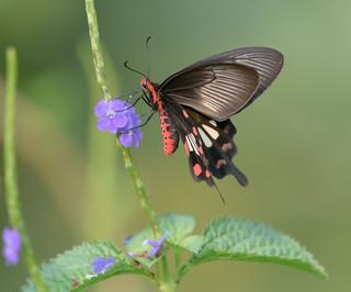 #CommonMormon #Papiliopolytes