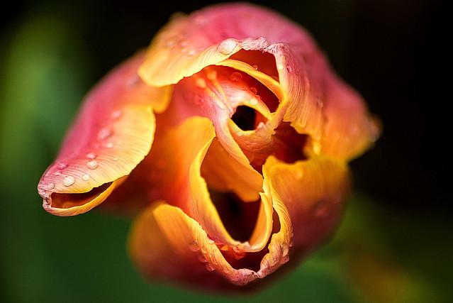 Looking Down on a Tulip 3-0 F LR 4-23-16 J169