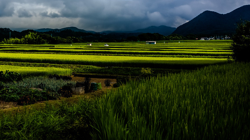 Rice field with morning sunlight
