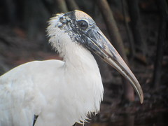 Wood Stork, J.N. Ding Darling NWR, FL 1/14/2016