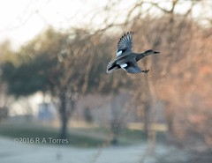 A Gadwall takes flight I guess he wanted me to photograph him flying rather than swimming. Departing pond on a golf course. #wildbird #duck #gadwall #pond #golfcourse #bestbirdshots #flyingduck #instadfw #canon_photos