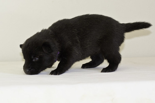 Kumi-Litter5-Day20-Puppy6-Female-c