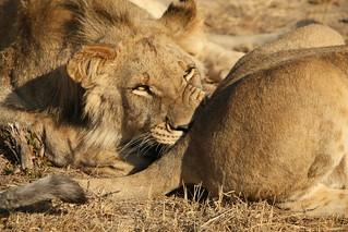 Lion walk