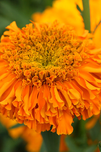 marigold dofd orange