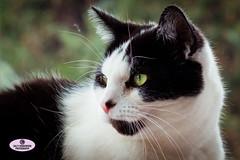 Black & White Cat Portrait