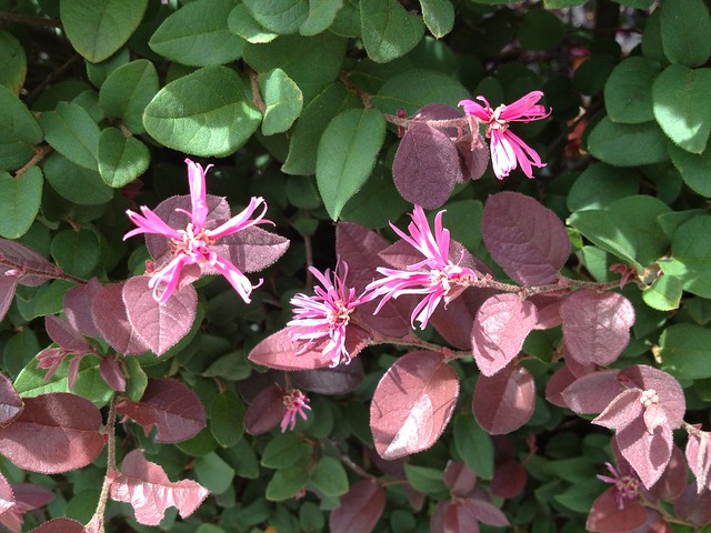 Loropetalum chinense IMG_3650