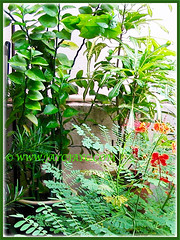 Green-leaved Euphorbia tithymaloides, Croton and Caesalpinia pulcherrima in our garden, Oct 28 2005