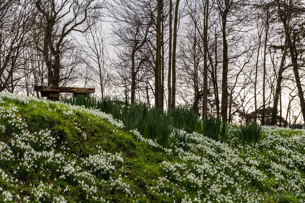 Bank of snowdrops