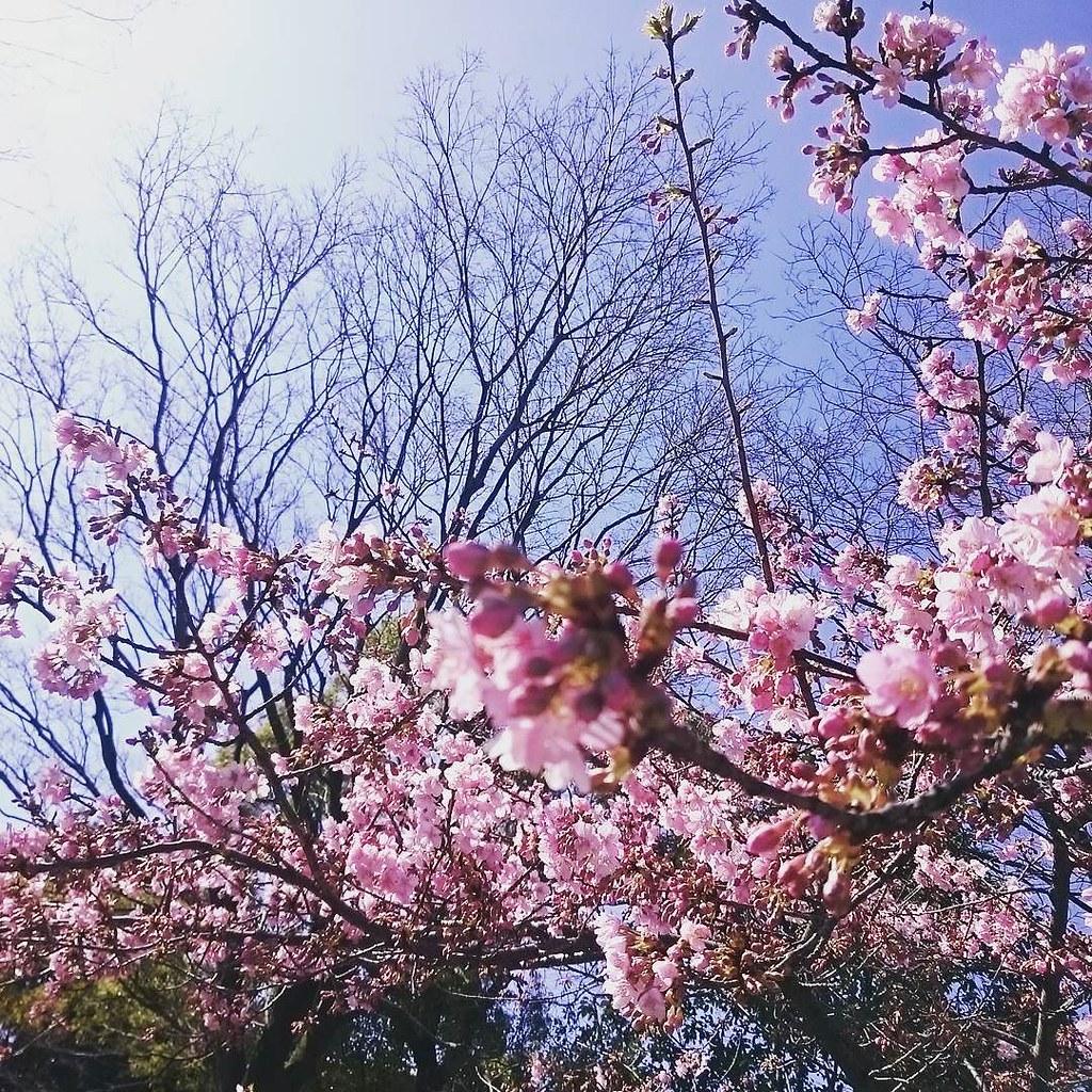もう春ですねぇ〜 #サクラ #桜 # CherryBlossoms