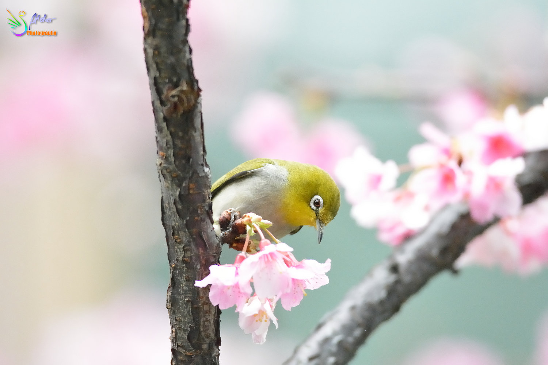 Sakura_White-eye_8244