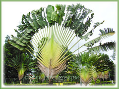 Remarkable trees of Ravenala madagascariensis (Traveller's Palm, Traveller's Tree) in the neighbourhood, Dec 28 2013