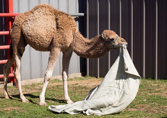 Camel with it's Blanket