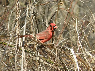 Friendly Cardinal