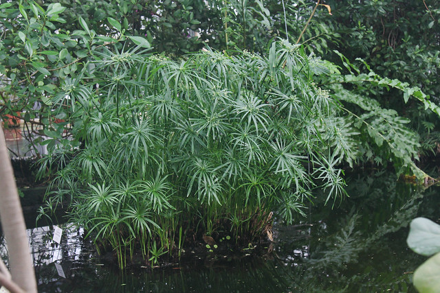 Zyperngras (Cyperus alternifolius)