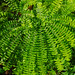 Small photo of Maidenhair Fern (Adiantum pedatum)