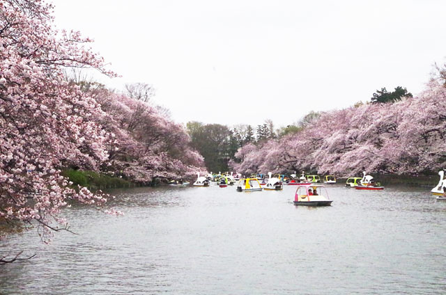 toomilog-kichijyouji-sakura-2016017