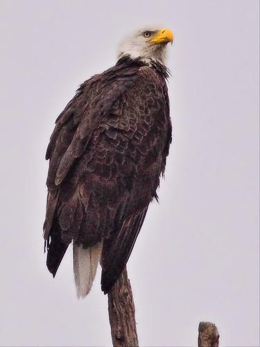 Bald Eagle female Yellow 20160320