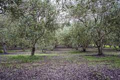 _WCB6296 Valencia Creek Farms Olive Oil Tour