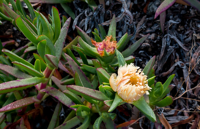 Iceplant (Carpobrotus edulis)