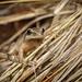 Spring Peeper (Pseudacris crucifer) - male in pondside reeds