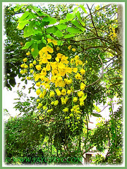 Cassia fistula (Golden Shower Tree/Cassia, Purging Cassia/Fistula, Indian Laburnum), seen in Malacca, Dec 6 2009