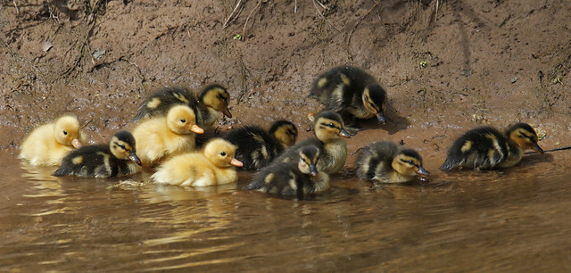Ducklings by the river's edge  {Explored!  Thank you very much!}