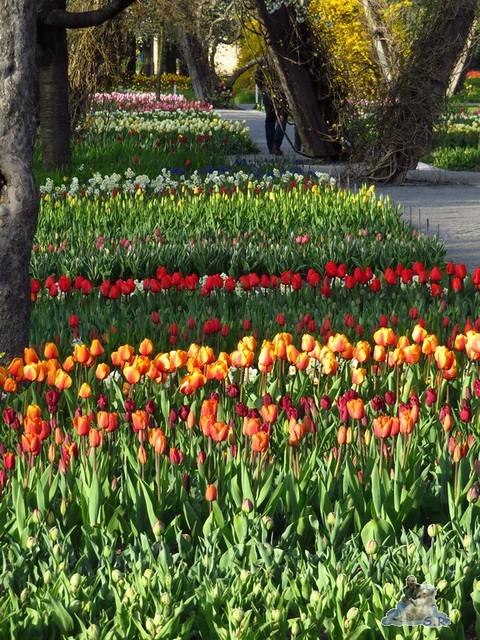 Britzer Garten Tulipan 22.04.2016  093