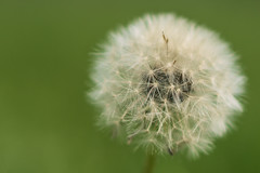 116/366 - Dandelion