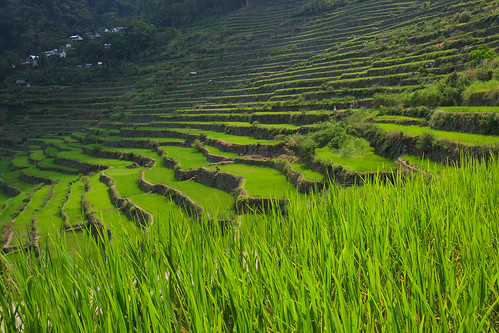 green rice philippines agriculture batad ifugao riceterraces luzon 8thwonderoftheworld