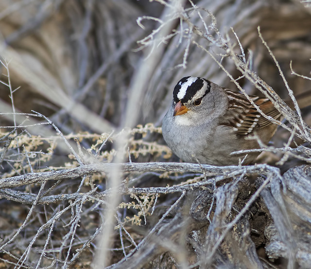 White-Crowned Sparrow E_7D2_120116