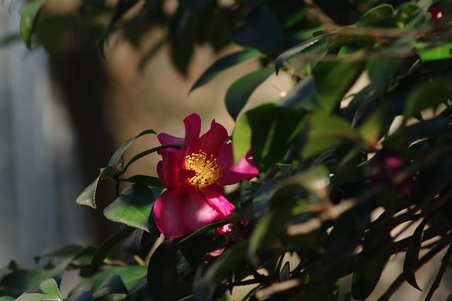424 - wisteria2-kozo