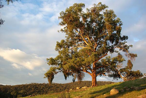 Yellow Box (Eucalyptus melliodora)