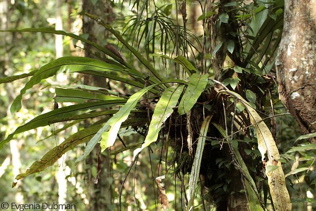 2 - Bird's Nest Fern (Asplenium nidus)_ED_wm