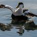 Heider duck