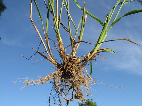 Echinopogon caespitosus roots2 NC