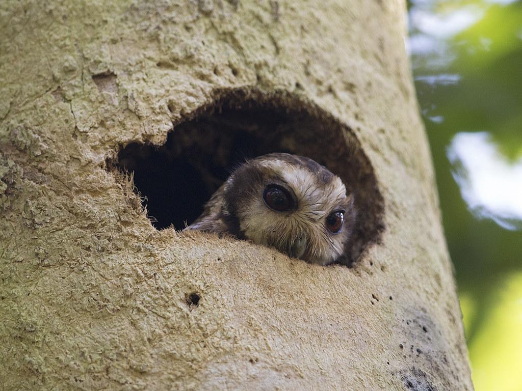 Cuban Sceech Owl    endemic species