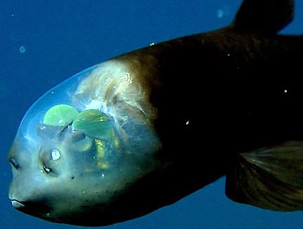 Spook Fish