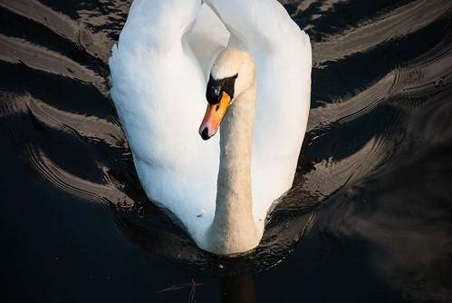 Smooth Swan