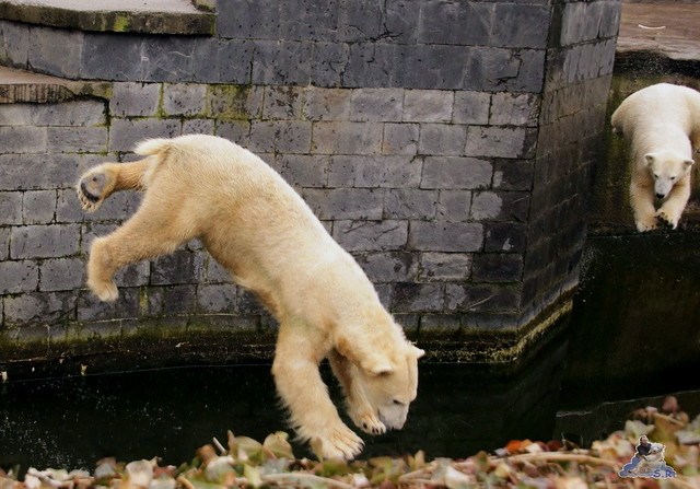 Eisbär Fiete im Zoo Rostock 13.03.2016 Teil 2  03