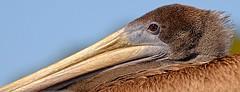 Young Brown Pelican - Explore #84 - 3/20/16