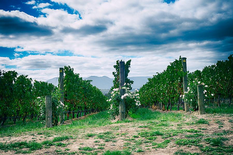 Chandon vines